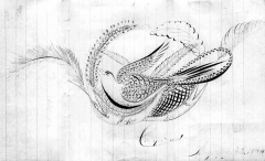 Wills-bird